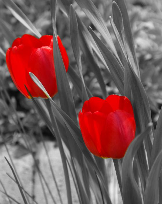 red-tulip-duo-lisa-hebert
